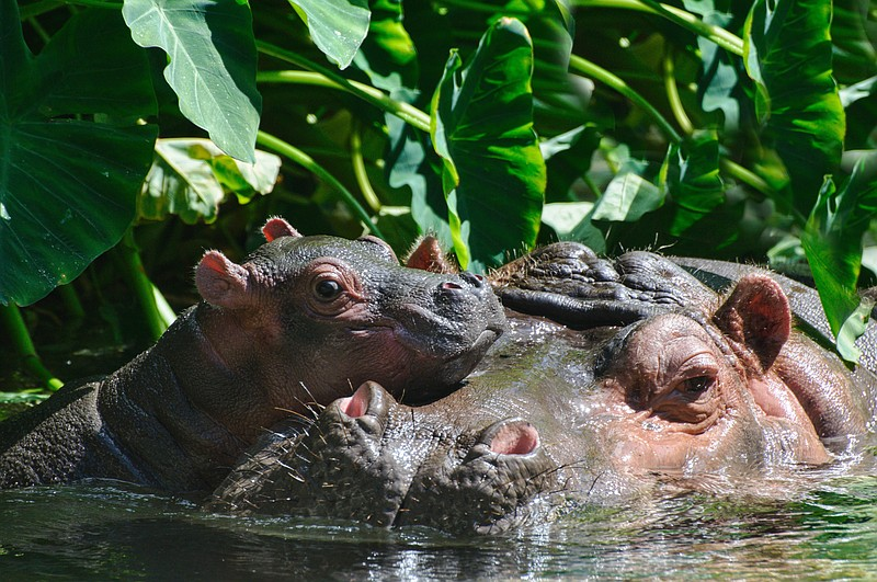 Baby hippo in water with mom hippo