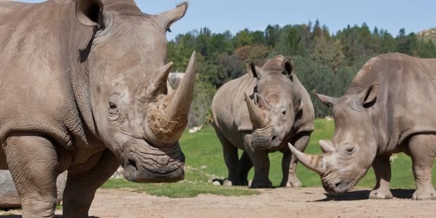 Three white rhinos