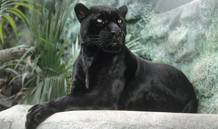Black Panther sitting in the sun