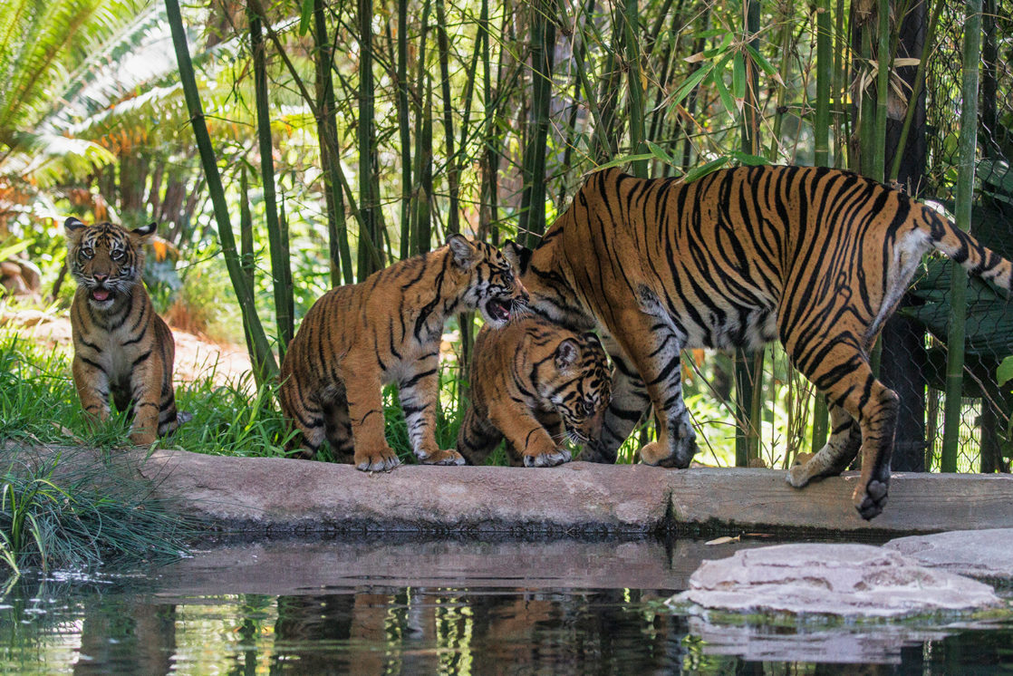 Tigers with tiger cubs