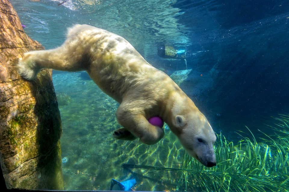 Polar Bear swimming at San Diego Zoo