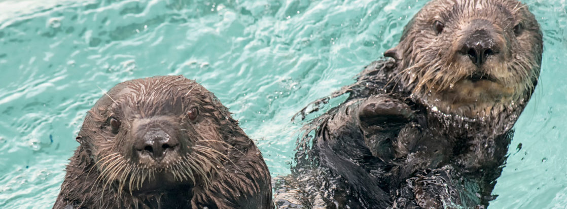 Otters in the water
