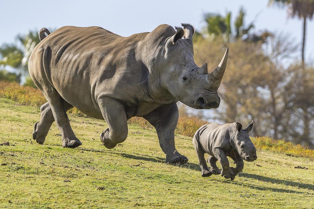 https://www.google.com/search?site=imghp&tbs=sur%3Afmc&tbm=isch&sa=1&ei=L9CNXJL4I8PY-gSYk5DgDA&q=san+diego+zoo+safari+&oq=san+diego+zoo+safari+&gs_l=img.3..35i39l2j0l8.34198.34316..35159...0.0..0.80.151.2......1....1..gws-wiz-img.OTEL_JSfa0Q#imgrc=2N4x826Eg94FdM: