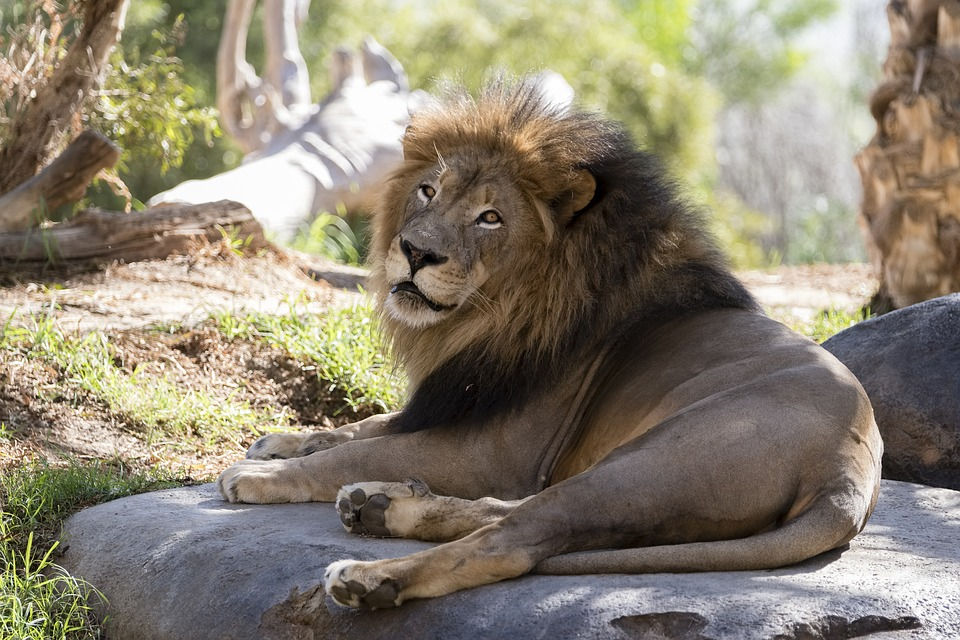 Lion lounging at the zoo