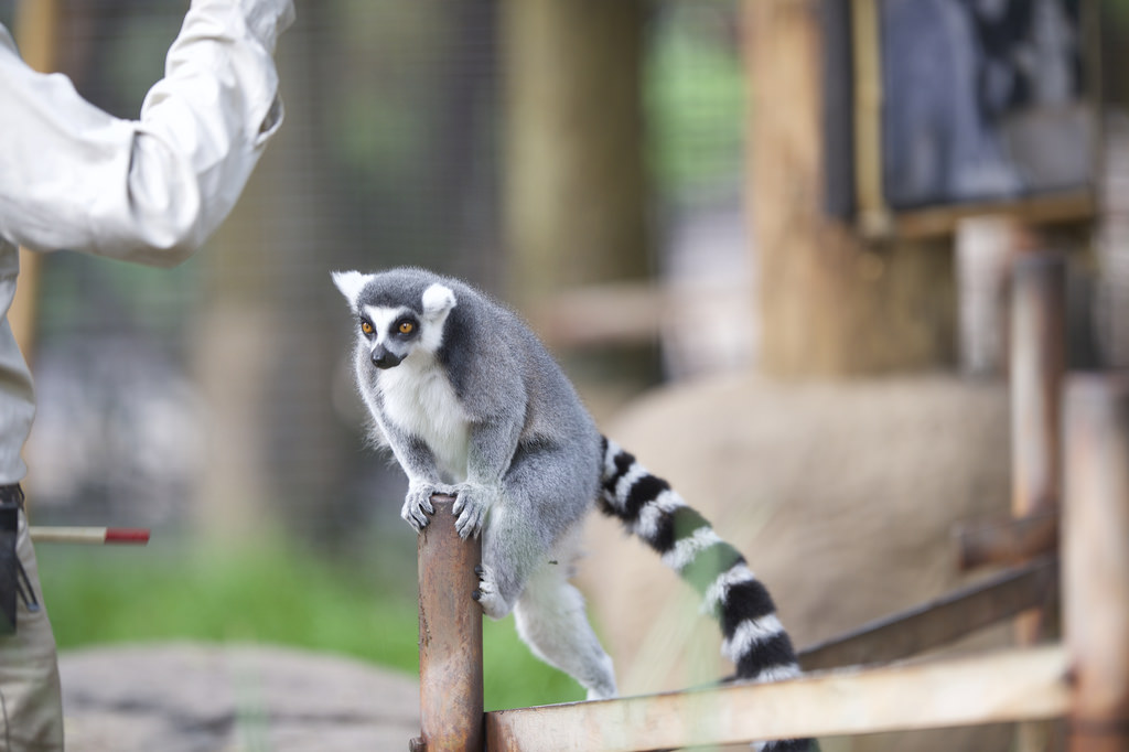Lemur standing on a pole for show